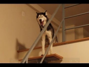 Mishka Escapes to the Loft